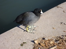 A coot--look at his feet.