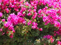 More bougainvillea.