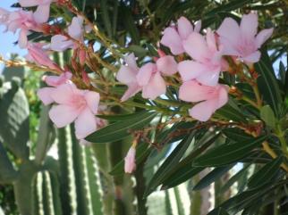 More oleander.