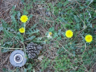 A few dandelions found a shady spot to bloom under a pine tree, right by a sprinkler.