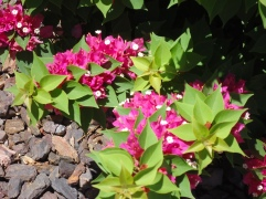 This might be a variety of bougainvillea.