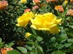 MCC Rose Garden