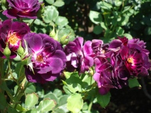 Have you ever seen purple roses?