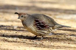 Female_Quail by Alan Vernon
