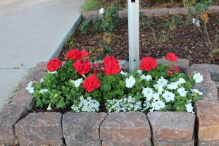 My neighbor grows vibrant geraniums.