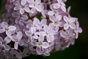 lilacs-close-up-600x400