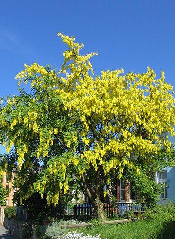 351px-Laburnum_anagyroides_flowering
