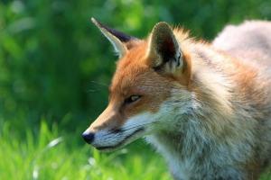 fox-317023_960_720