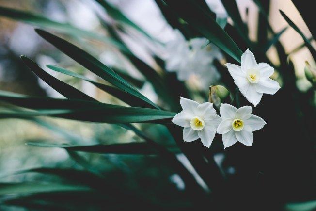 Narcissus masaaki-komori-629914-unsplash