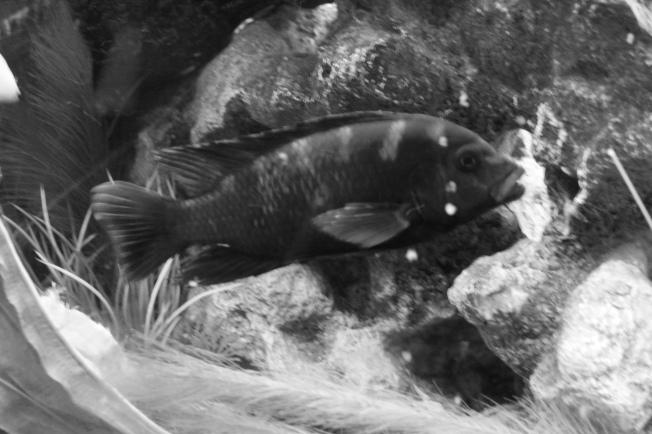African cichlid