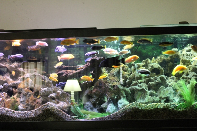 tropical fish; African cichlids