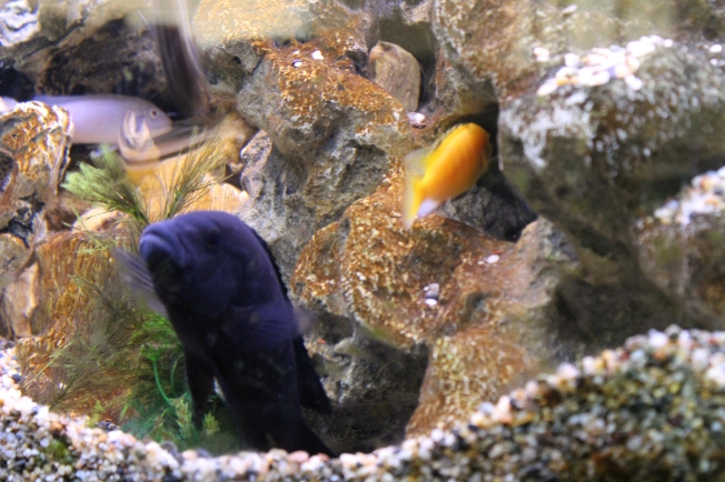 African cichlids; tropical fish