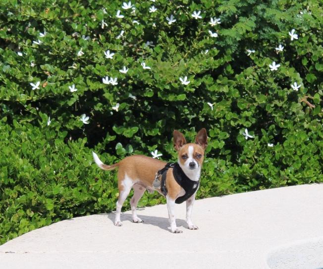 Chihuahua, NaPoWriMo